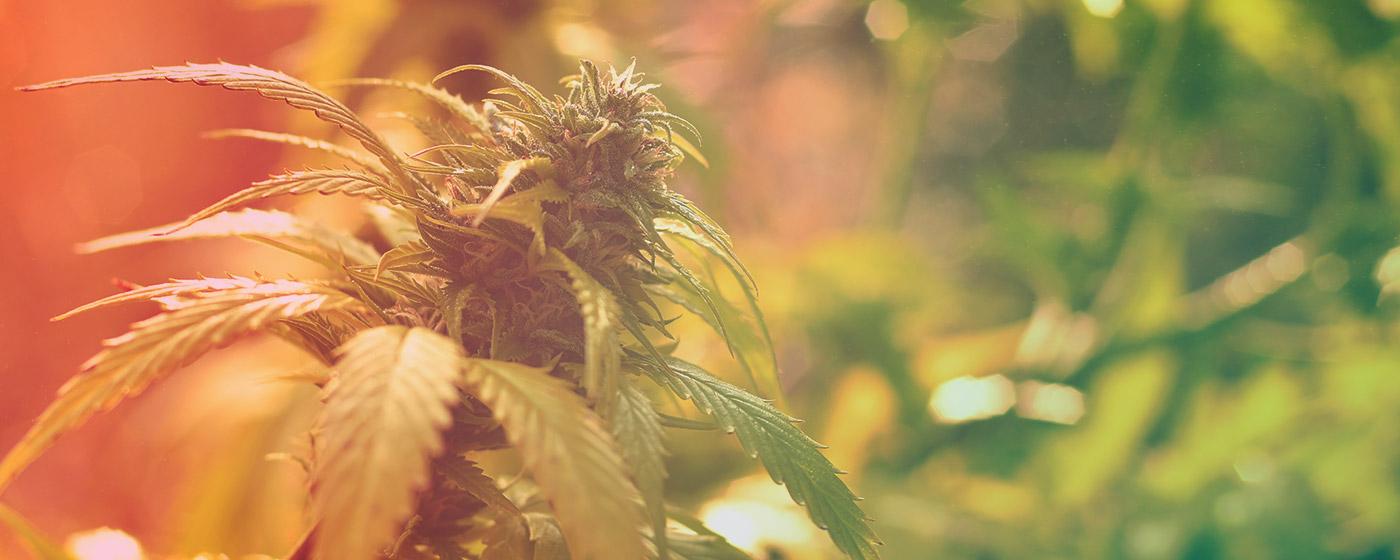 Iluminación para el cultivo de cannabis